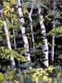 Birches 12 x 16
